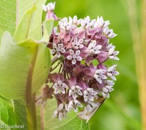 Milkweed 7-6-14-1090