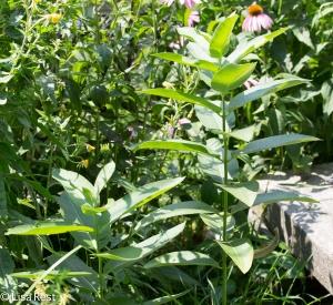 Milkweed Yard 7-19-14-1561