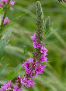 Is this Purple Loosestrife?