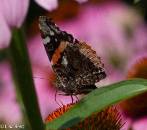 Red Admiral Yard 7-19-14-2907