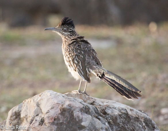 Greater Roadrunner outside Neal's Lodges