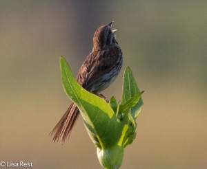 Song Sparrow with his back to us