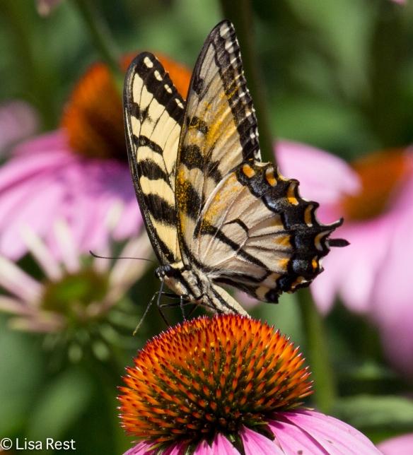 Tiger Swallowtail Yard 7-19-14-1494
