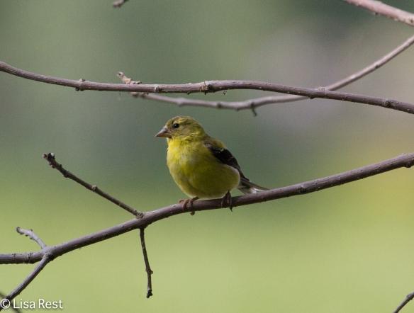 American Goldfinch, Lake Katharine