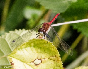 White-Faxed Meadowhawk