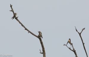 Barn Swallows, McGinnis Slough