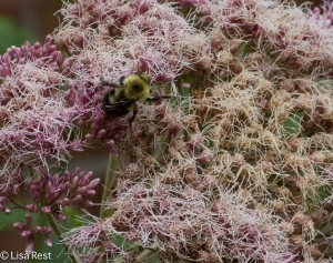 Bee in the Joe-Pye Weed