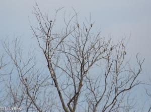 Cedar Waxwing Tree