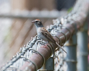 Chipping Sparrow Yard 8-2-14-2086
