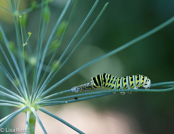 Eastern Black Swallowtail Caterpillar on dill