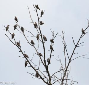 European Starling Tree