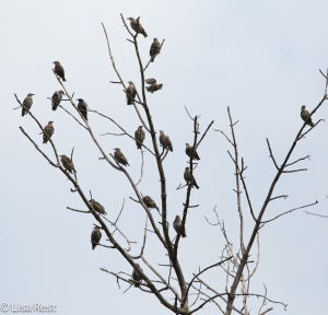 European Starling Tree