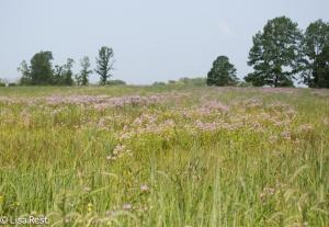 Field of Bergamot Orland 8-3-14-2247