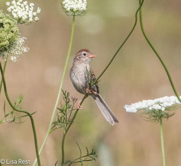 Field Sparrow, Orland Grassland