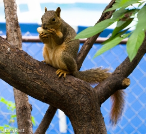 Foxy Lady Squirrel Yard 7-26-14-3447