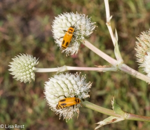 Goldenrod Soldier Beetle on Rattlesnake Master at Orland 8-3-14-3672
