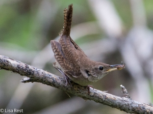 House Wren, Chicago Portage