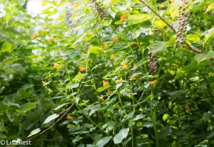 Jewel Weed and Poke Weed, Chicago Portage