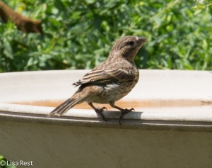 Juv House Finch Yard 8-2-14-2127