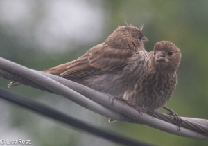 Juv House Finches Yard 7-26-14-3197