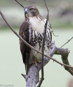 My first encounter with the hawk on this perch
