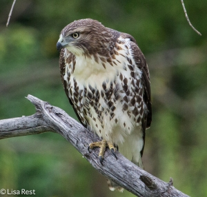 Red-Tailed Hawk 8-17-20