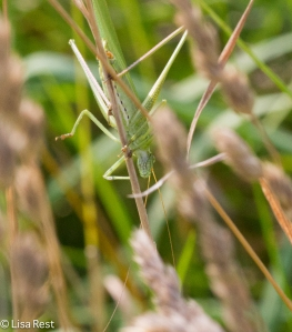 Meadow Katydid at Orland 8-3-14-3775