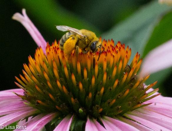 Mining Bee Yard 7-26-14-3335