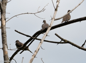 Mourning Dove Tree