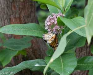 Monarch on Swamp Milkweed Yard 7-26-14-3228