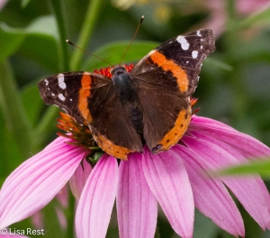 Red Admiral Yard 7-26-14-3380