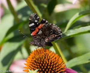 Red Admiral Yard 8-2-14-2029