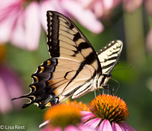 Tiger Swallowtail Yard 8-2-14-2002
