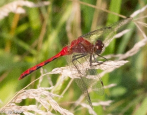 White-Faced Meadowhawk Male at Orland 8-3-14-3706