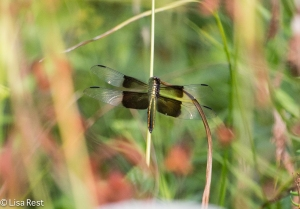 Widow Skimmer, Lake Katherine