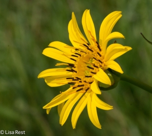 Wildflower at Orland 8-3-14-3738