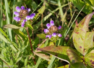 Wildflowers at Orland 8-3-14-3759