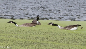 Canada Geese with neckbands