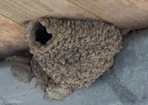 Empty Barn Swallow Nest
