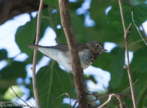 Another Gray-Cheeked Thrush, Chicago Portage