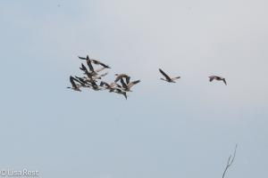 Canada Geese, Chautauqua