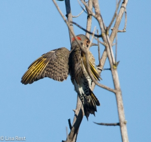 Golden-Shafted Flicker