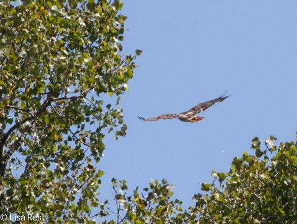 Red-Tailed Hawk, Ottawa Trail Woods