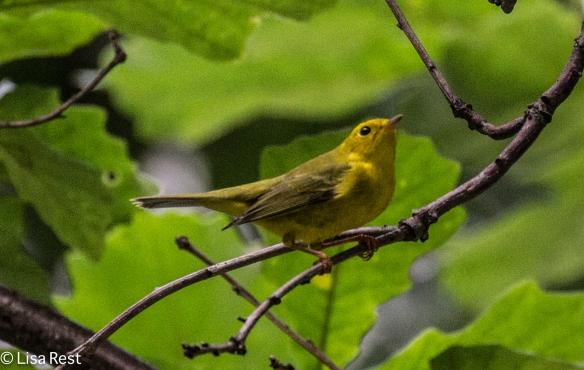 Wilson's Warbler, Lake Shore East Park