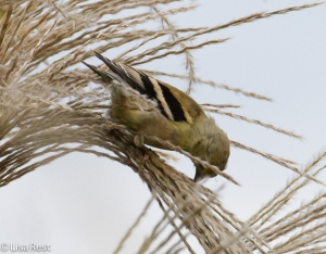 American Goldfinch, Lurie Garden
