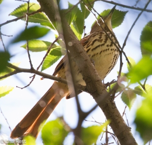 Brown Thrasher, Lake Shore East Park