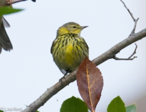 Cape May Warbler, Lurie Garden, Millennium Park 9-25-14