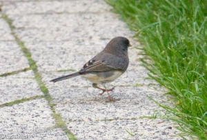 Dark-Eyed Junco, Lake Shore East Park