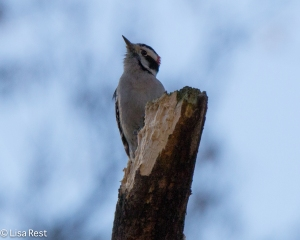 Downy Woodpecker, Portage
