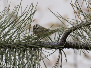 Golden-Crowned Kinglet, Lake Shore East Park
